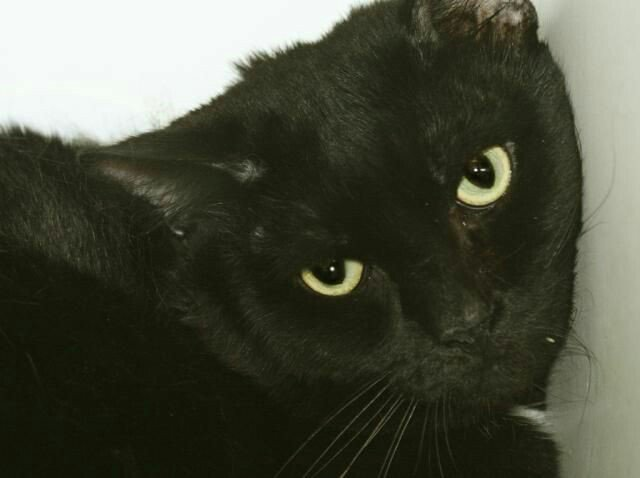 ROGER A &quot;PURRFECT PANTHER&quot; came with pal FRENCHIE!  THEY LOST OWNER TO HOSP!  SAVE ROGER B4 NOON SAT!  #NYC #cats  http:// nyccats.urgentpodr.org/roger-a1118674/  &nbsp;  <br>http://pic.twitter.com/ywjEjAN3XU