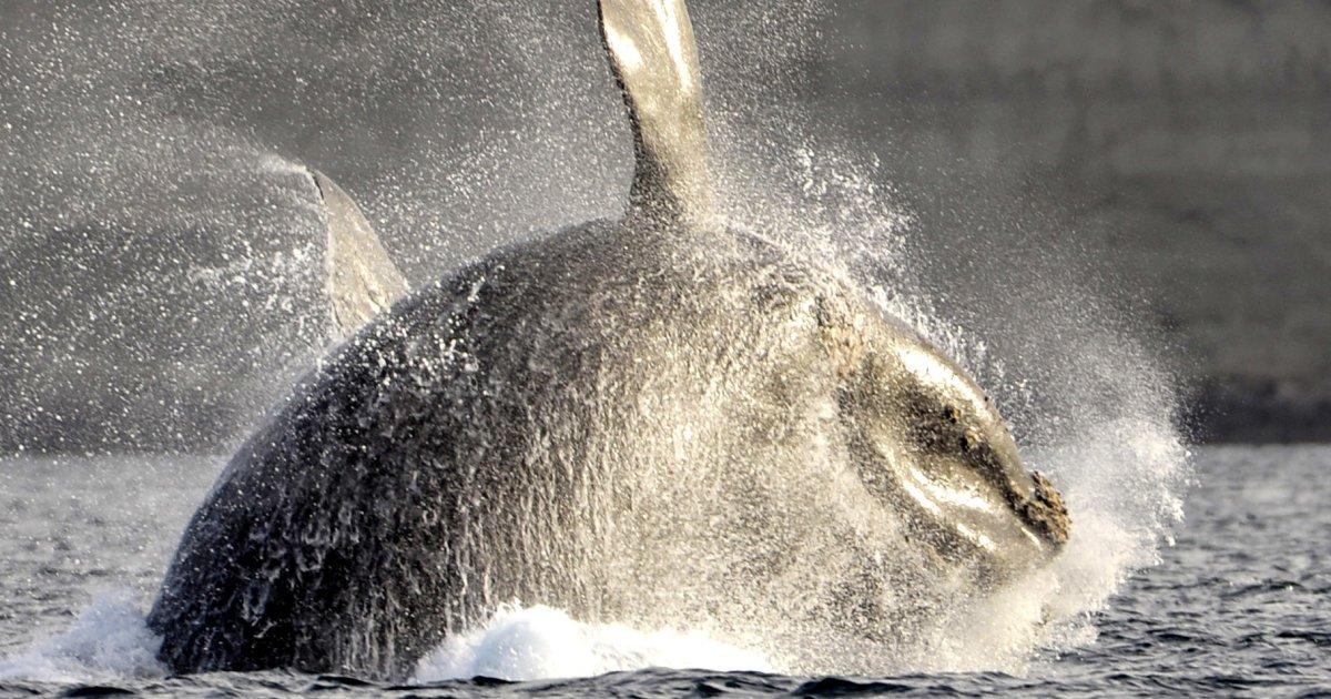 Fin de la pêche au crabe au Canada pour protéger les baleines noires https://t.co/hllAhAzEmG