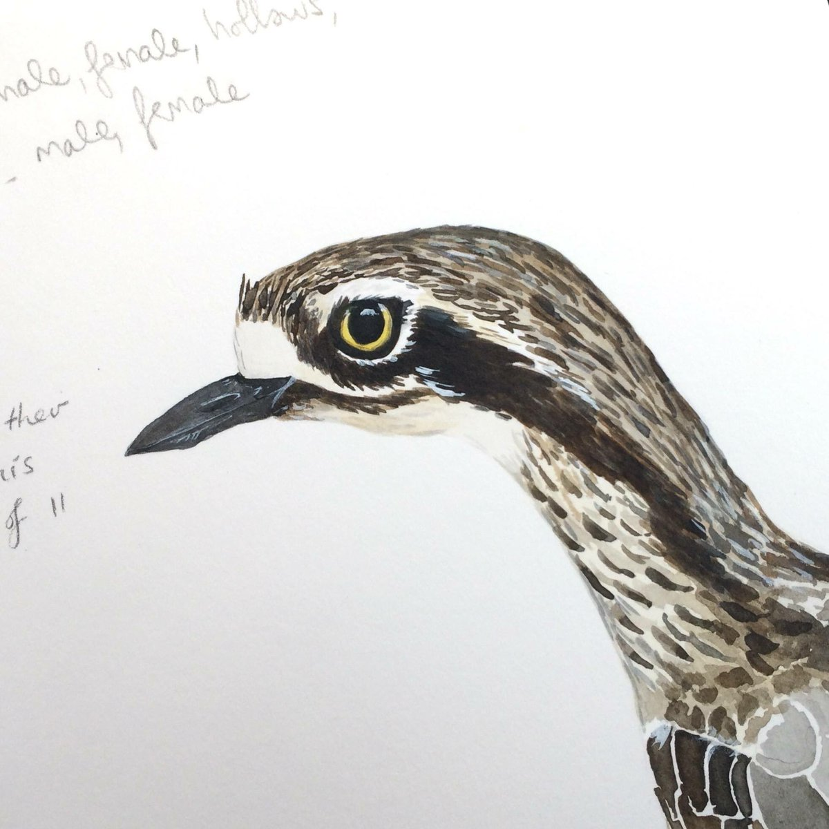Bush Stone-curlew sketch by our new Artist in Residence Emily Birks. For more check out her site  http://www. emilybirks.com  &nbsp;   #sciart #canberra<br>http://pic.twitter.com/N98kiL0RZI