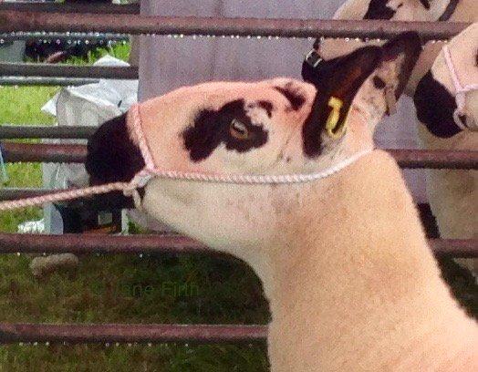 More #sheep at the #Penrith show #KerryHill and #Ryeland and #Zwartbles #sheep365 #sheepoftheweek #NotJustLakes<br>http://pic.twitter.com/IAJOghVydJ
