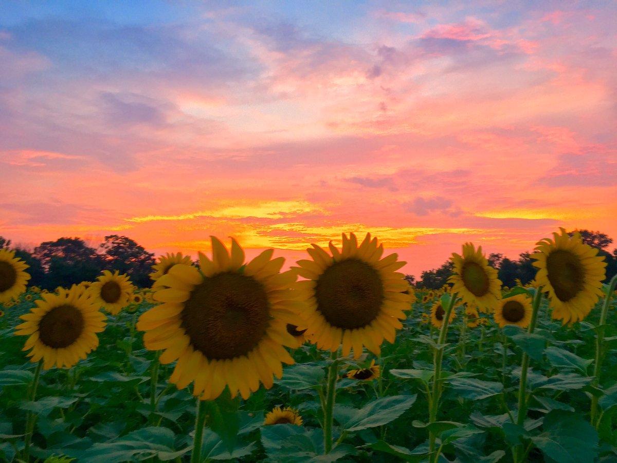 #Sunflowers #sunset #McKee-Besheers in #Maryland @capitalweather @spann  @TravelMD @StormHour  @yourtake @GMA @mymcmedia I took  7/22/17<br>http://pic.twitter.com/8fELEse6u2 &ndash; bij McKee-Besheers WMA