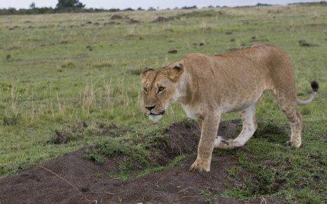 Alerte en Mayenne, les gendarmes pourchassent une lionne >> https://t.co/0FB46lijKd