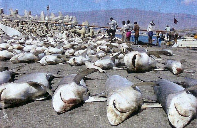 It is estimated that 150,000,000 #sharks are killed each year. Most have their fins cut off, while alive... To be used in soup #SharkWeek<br>http://pic.twitter.com/VLIvd1LaJA