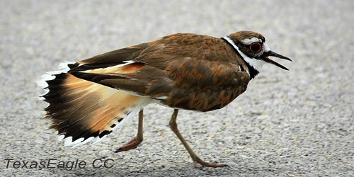Is that bird's wing broken? Nope, that's a #Killdeer luring predators away from its nest. #ornithology  http:// bit.ly/1piz2A7  &nbsp;  <br>http://pic.twitter.com/rQ99LuK0qh
