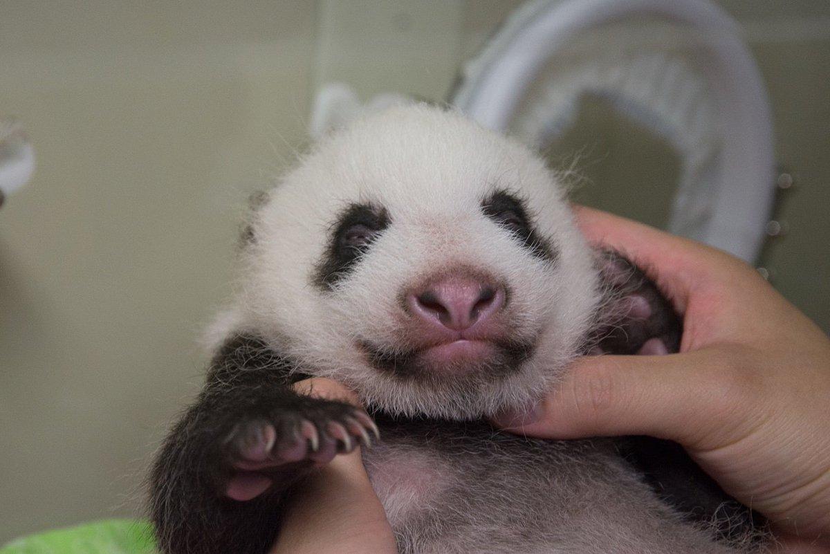 6/12に誕生したジャイアントパンダの子は昨日生後40日を迎えました。誕生時に150gほどだった体重も1.6kgに増加し、うっすら目も開きかけてきました。公開はまだしばらく先ですが、名前募集は7月28日から開始で、詳細はTokyoZooNetでお知らせする予定です。 pic.twitter.com/QoZa9jp8BT