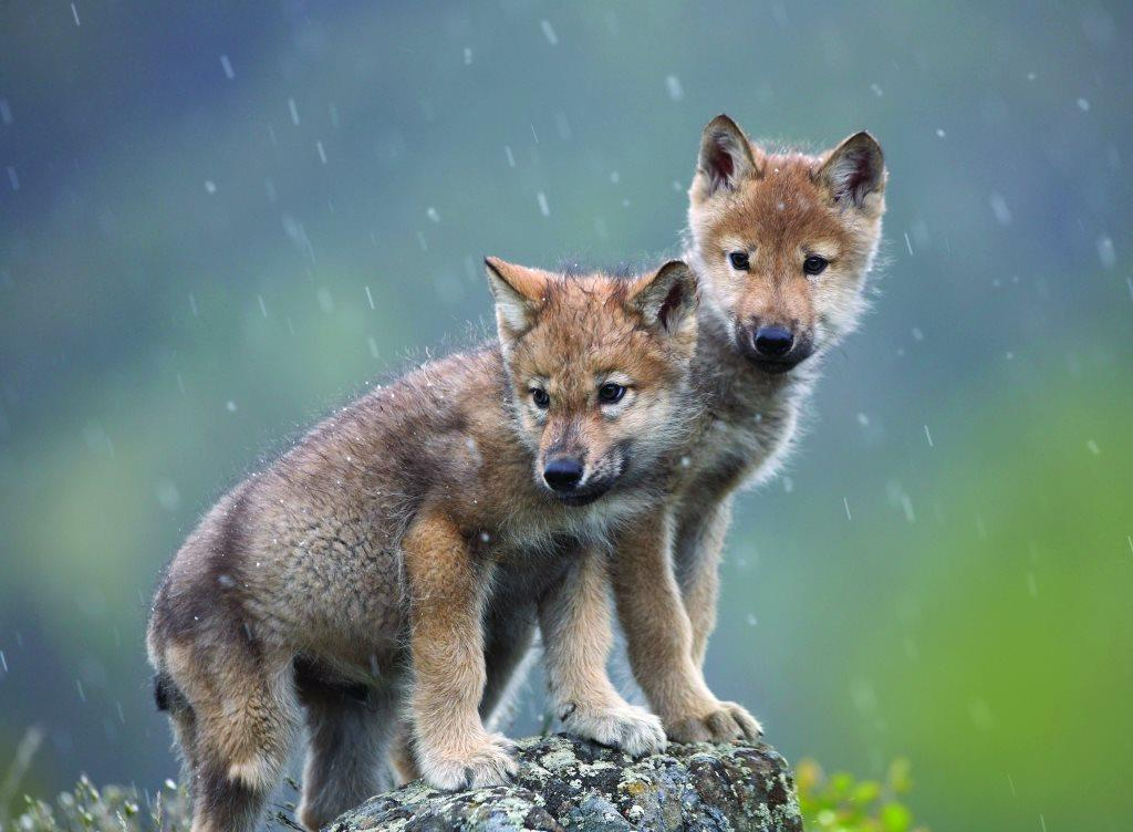I dare, I care Eyes wide open, can't sleep #Washington #Wolves  #EndangeredSpecies  #SmackoutPack  #Washington  #keepwolveslisted #Wolfie<br>http://pic.twitter.com/ntpnFO6GDw