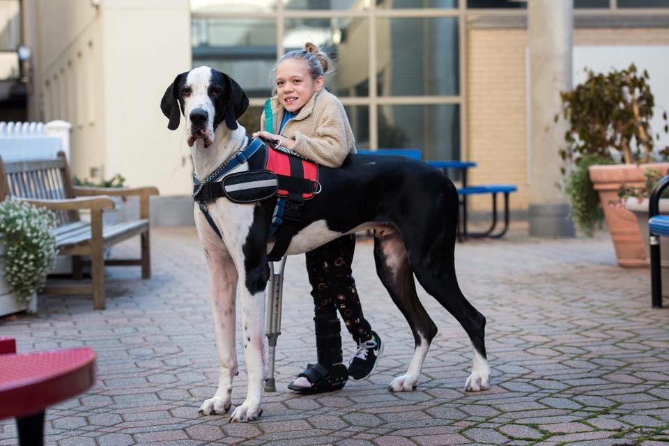 Great Dane Service Dog Project Cam