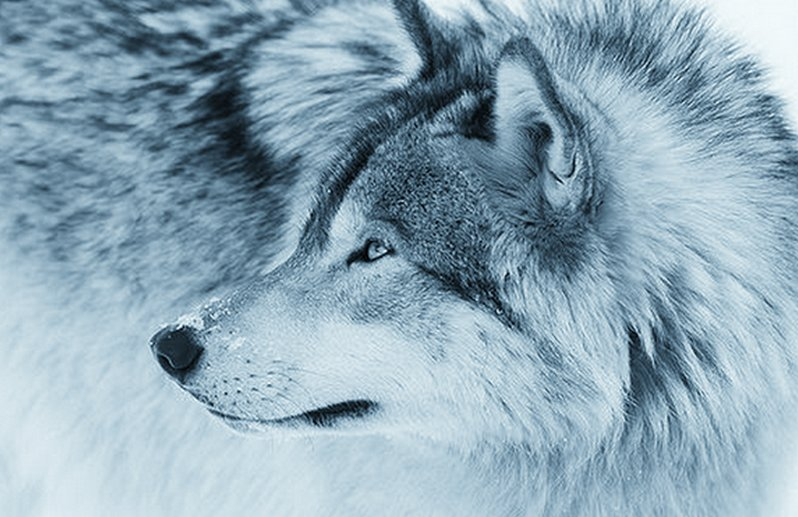 I'm so alone, winter has drowned #Washington #Wolves  #EndangeredSpecies  #SmackoutPack  #Washington  #keepwolveslisted #Wolfie #boycottbeef<br>http://pic.twitter.com/kWiVRevgOD