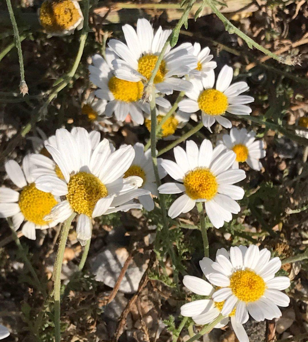 """Avşar Ağzı on Twitter: """"Yoğurt çiçeği:Papatya.Ortası sarı,küçük ..."""