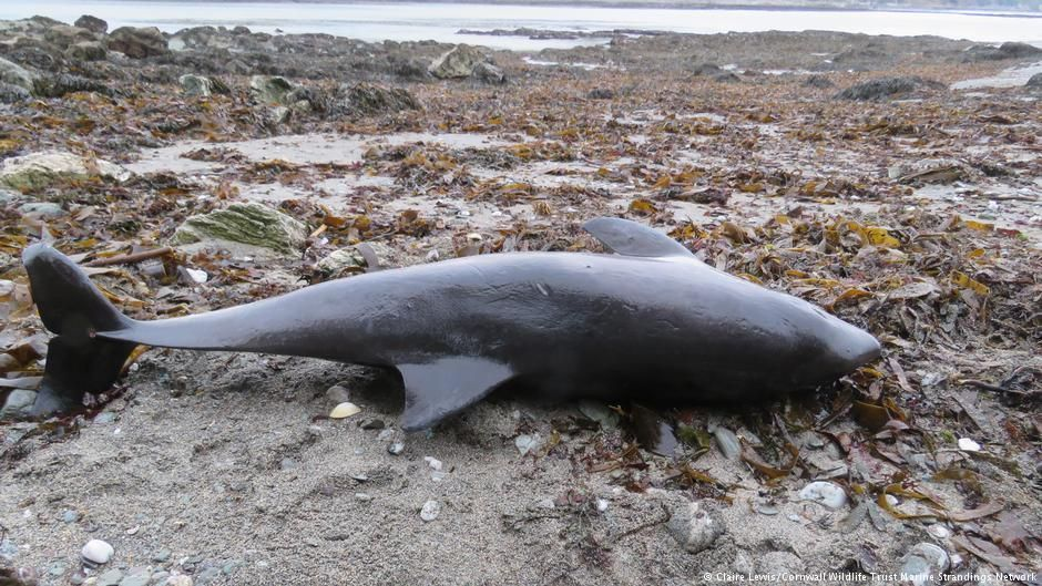 At least a thousand #dolphins have washed up on beaches in UK and France due to large-scale trawling  http:// p.dw.com/p/2gVWe  &nbsp;   @CornwallNature<br>http://pic.twitter.com/AhGMpnabbc