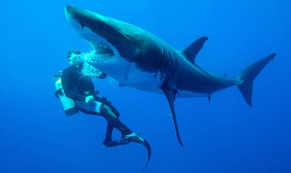 Great White #Sharks can live at least 75 years. That means that poor shark from Jaws would still be alive if he&#39;d dined elsewhere #SharkWeek<br>http://pic.twitter.com/YAD52d9QeD