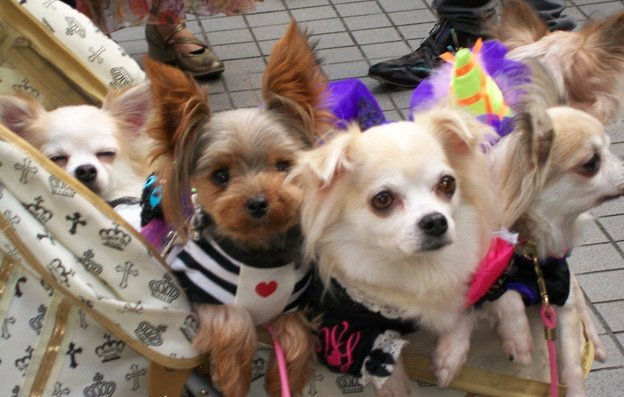 halloween going to the dogs in tokyo