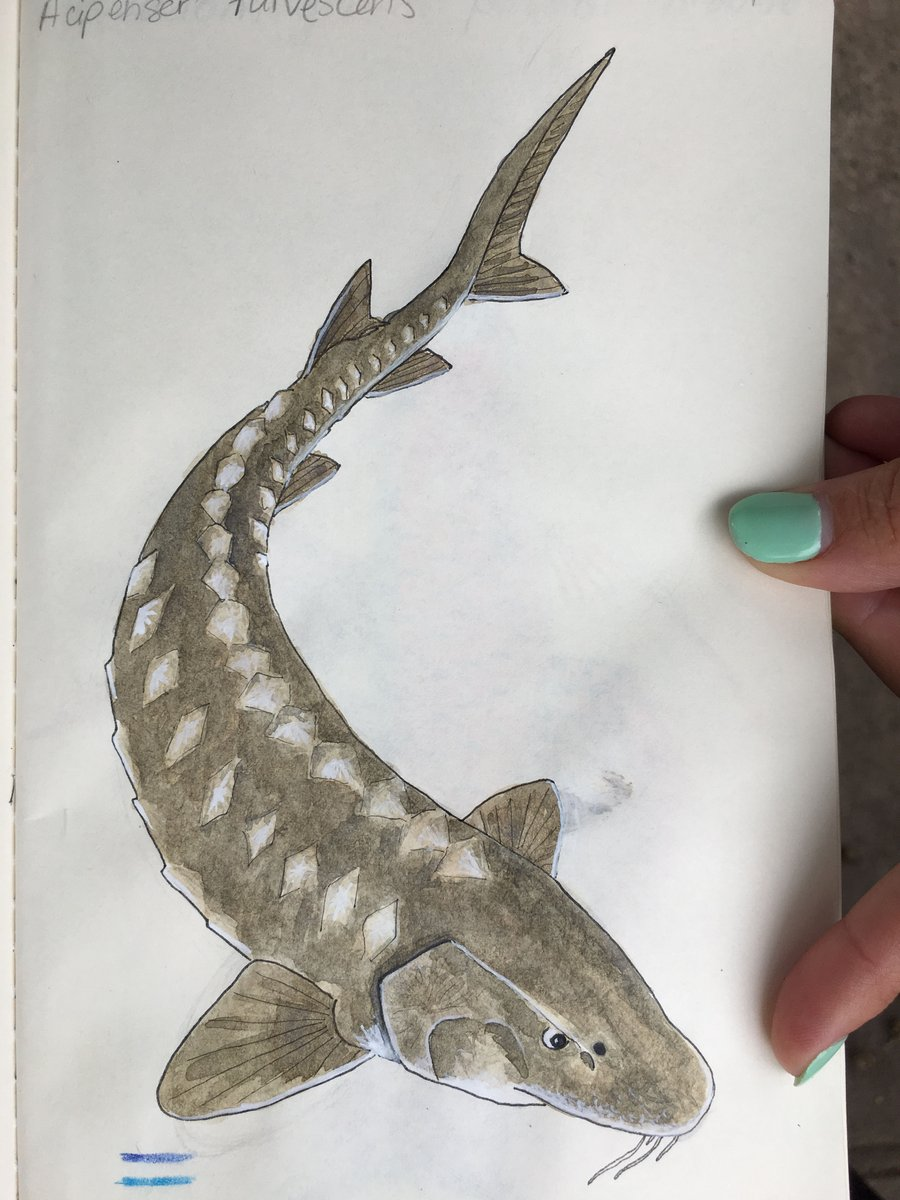 I painted a badass lake sturgeon today for #SundayFishSketch. It was requested by @kenmjeffries.   #paintallfishes #sciart #watercolor<br>http://pic.twitter.com/PjJrz9dYLg