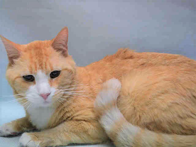 http:// nyccats.urgentpodr.org/creamsicle-a11 18270/ &nbsp; …   Sad Betrayed(CREAMSICLE) Sweet Boy Dumped/Allergies TBD 7/24/17! Adopt/Foster/Pledge/RT!! Killing at12PM #NYC  <br>http://pic.twitter.com/8Lx2LAh1gx