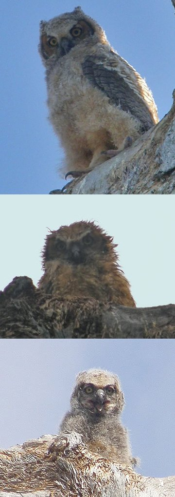baby great horned owl sequence