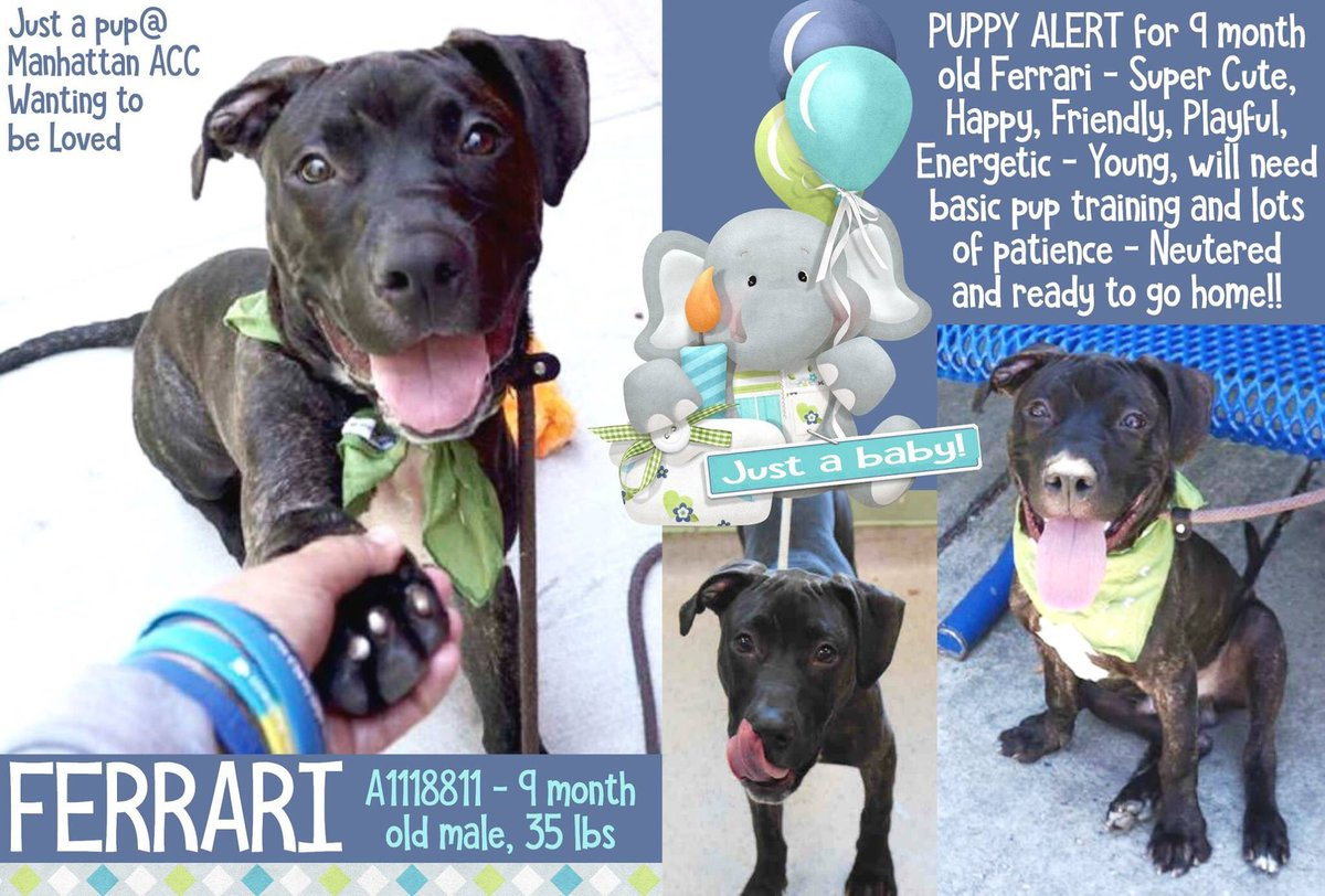 FERRARI 9 mo pup ABND TIED UP FKU AHOLE FNDLY HAPPY PLYFL  Waggy Tail NHR=7/24 ADORABLE INNOCENT BOY SHAME OF AHOLES #NYC #OWNERS <br>http://pic.twitter.com/Q7JtaXviXA