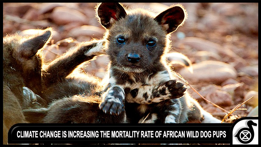 #Climatechange is increasing the mortality rate of African wild dog pups.   https:// news.mongabay.com/2017/07/climat e-change-is-increasing-the-mortality-rate-of-african-wild-dog-pups/ &nbsp; … <br>http://pic.twitter.com/vhNjN0ppNc