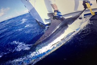 Edisto, SC - Bad Becky released a Roundscale Spearfish and a Sailfish.