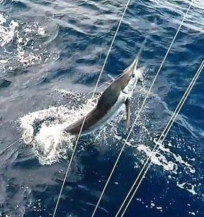 Los Suenos, CR - Hank Lane fishing with James Smith on Dragin Fly released 20 Blue Marlin, 6 Striped Marlin and 3 Sailfish over 3-Days.
