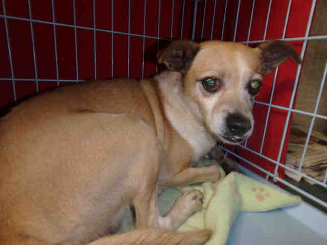 #Rescue me! Adult male #Chihuahua/#MixedBreed mix.  #nkla #dogs #love