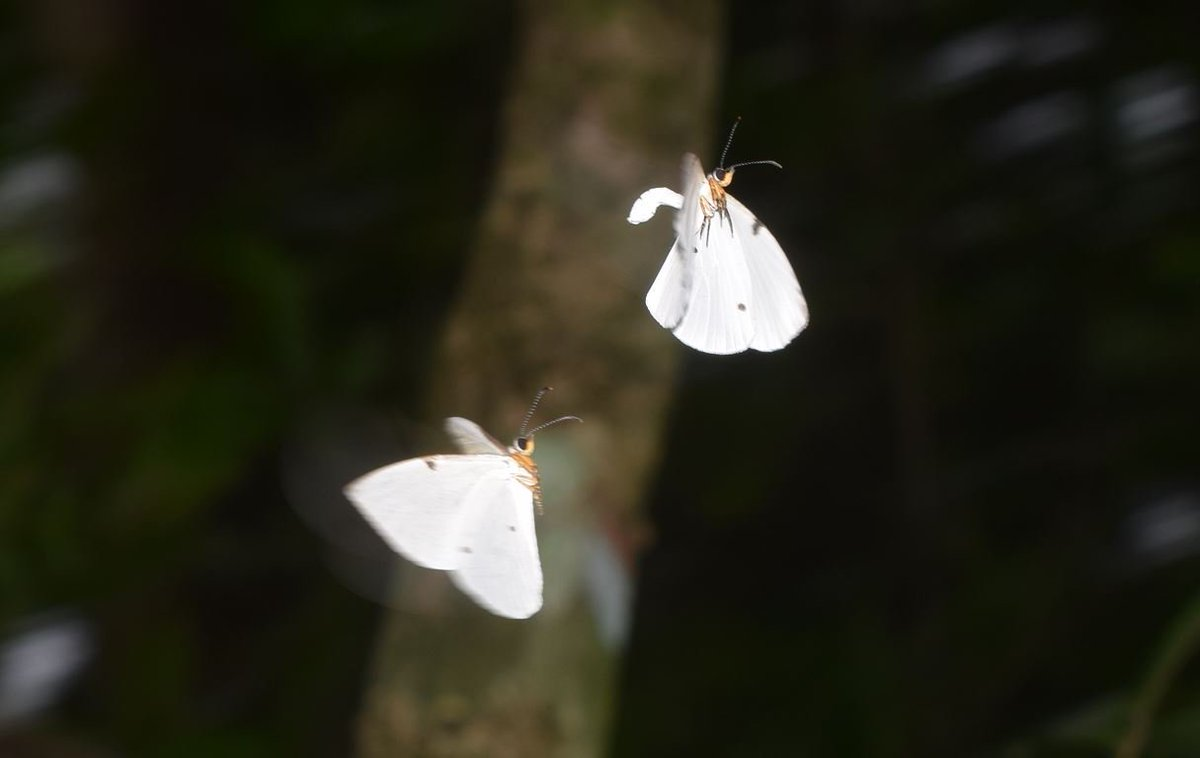 The dancing Larinopoda lircaea in the forests of Mbam Djerem (Cameroon) were delightful https://t.co/MjHoDO2NCp
