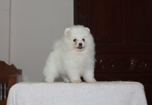 35++ Harga anjing mini pop terbaru