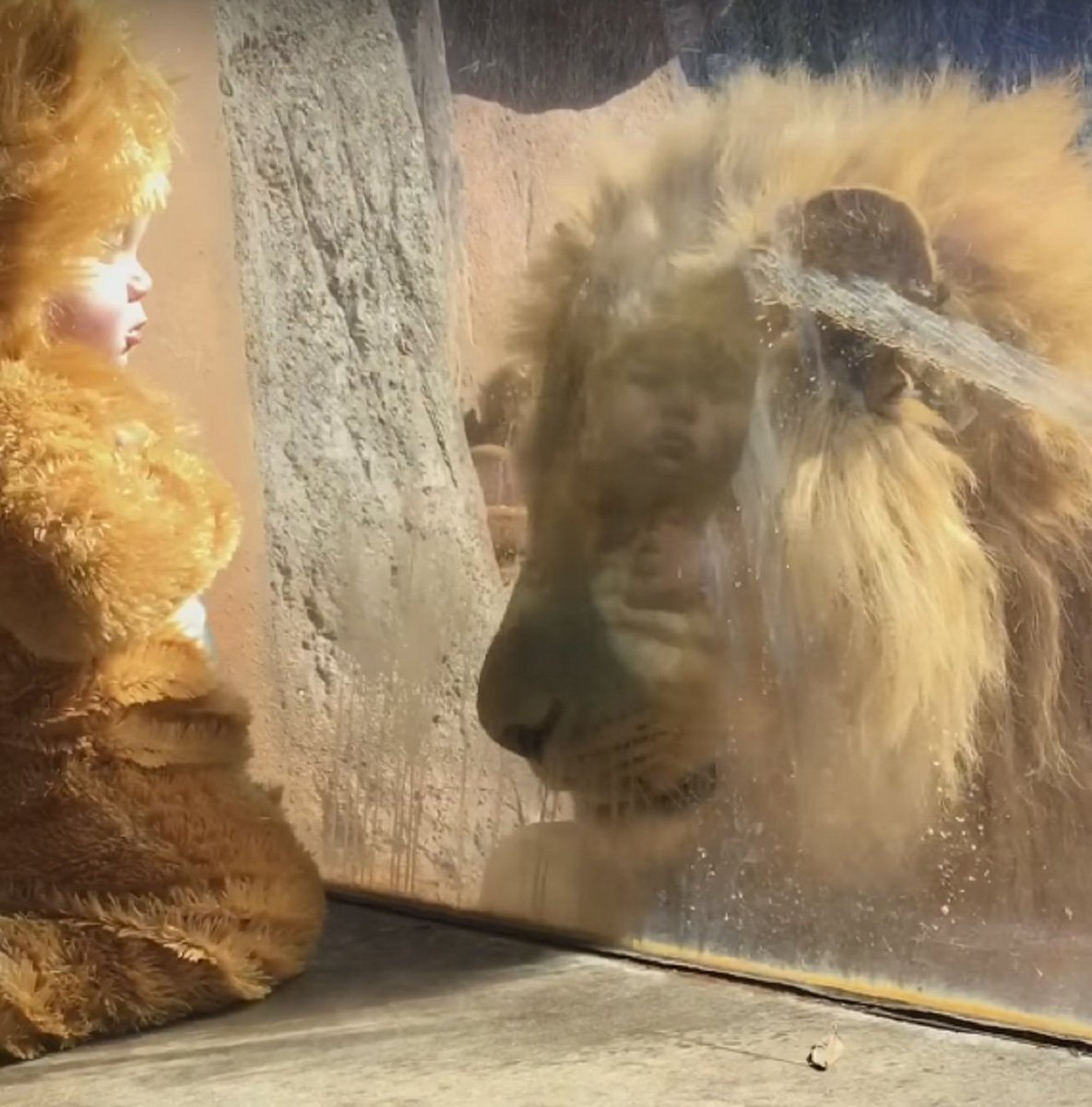 Baby In Lion Costume Meets Lion At Zoo   http:// dld.bz/fmKaW  &nbsp;    #baby #babies #animal #animals #lion #lions #zoo<br>http://pic.twitter.com/vqd3LLjpTn