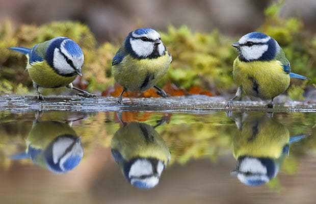 Hot off the press: Altered diet linked to low breeding success in urban-dwelling blue tits @SciReports  https://www. nature.com/articles/s4159 8-017-04575-y &nbsp; …  #ornithology <br>http://pic.twitter.com/qW1440ItJI
