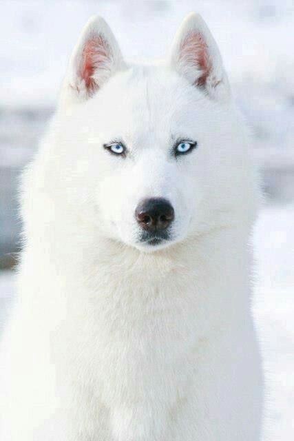 """Favori 🔥 Yassin D. GRONIE 🔥 on Twitter: """"Les chiens Husky tout blanc  FA33"""