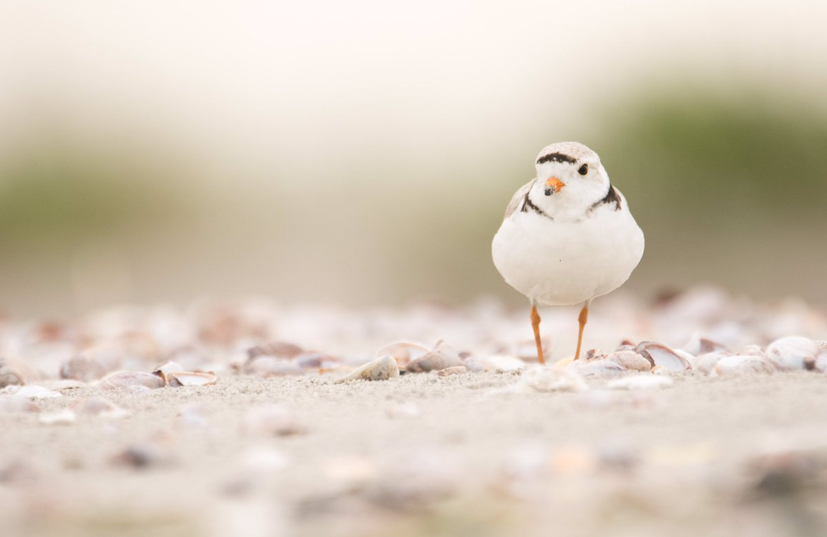Check out @audubonsociety Instagram feed this week. I&#39;m doing a take over on behalf of Audubon CT. #bird #shorebird #plover #science<br>http://pic.twitter.com/u5VlFXROX6