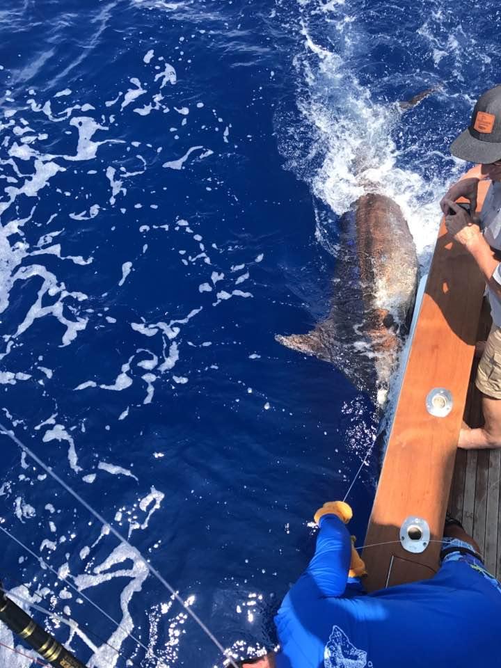 Kona, HI - Capt. Chip Van Mols on Luna went 2-2 on Blue Marlin (550) and 1-1 on Spearfish.