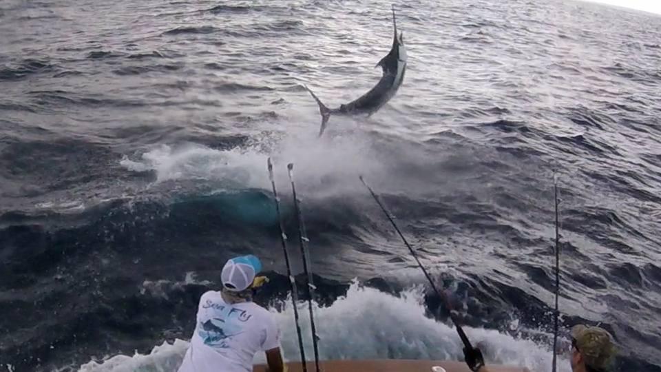 Los Suenos, CR - Sea Fly released 7 Blue Marlin over 1 1/2 Days.