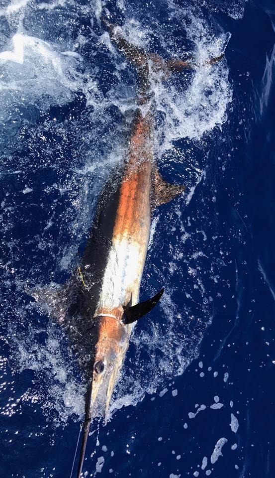 Kona, HI - Ihu Nui released a Blue Marlin.