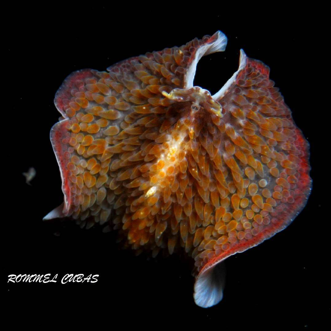 Learn more about the sexuality of flatworms. Picture: Rommel Cubas   https://www. instagram.com/p/BW8TnhMBIm6/  &nbsp;   #MarineBiology #Oceans #sea #scicomm #Science<br>http://pic.twitter.com/PlWydv2qgJ