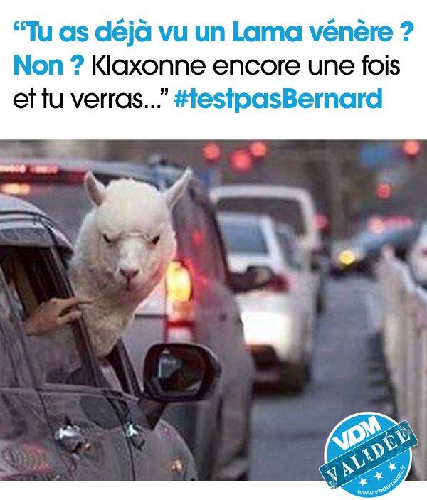 Tu as déjà vu un lama vénère ? #VDM #viedemerde #Lama #klaxon #venere #Bernard