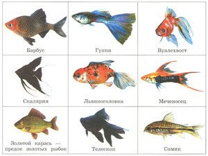 Аквариумные рыбки презентация