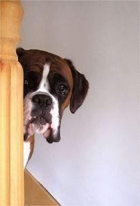 Resultado de imagen para boxer dog hiding