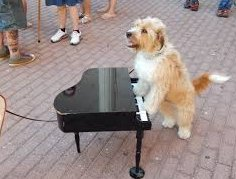 Can play chopsticks on the piano  #UnlikelyPetTricks https://t.co/vfKa...
