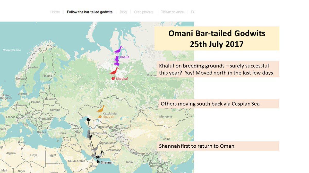 1st Bar-tailed Godwit back to Oman - but Khaluf still in Siberia! http:// omanbarralhikman.org/transmittered-  &nbsp;   … #shorebirds #ornithology <br>http://pic.twitter.com/Xz1ZnV0DVh