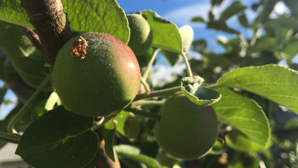 Looking for free fruit? New online map may be the apple of your eye ht...