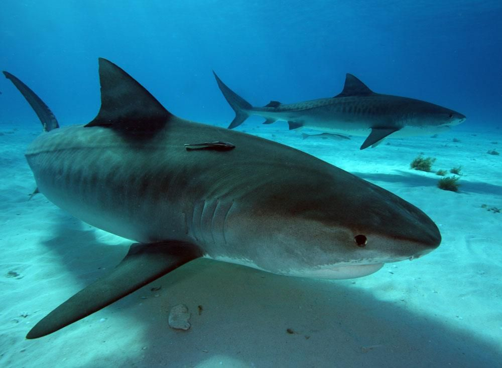 Our partner @FinsAttached protects #sharks through #research, conservation, public awareness &amp; education, and advocacy #SharkWeek<br>http://pic.twitter.com/3BFhkqTKIb
