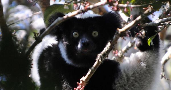 Les primatologues africains s'organisent pour sauver singes et lémuriens https://t.co/jGizCzl6PC