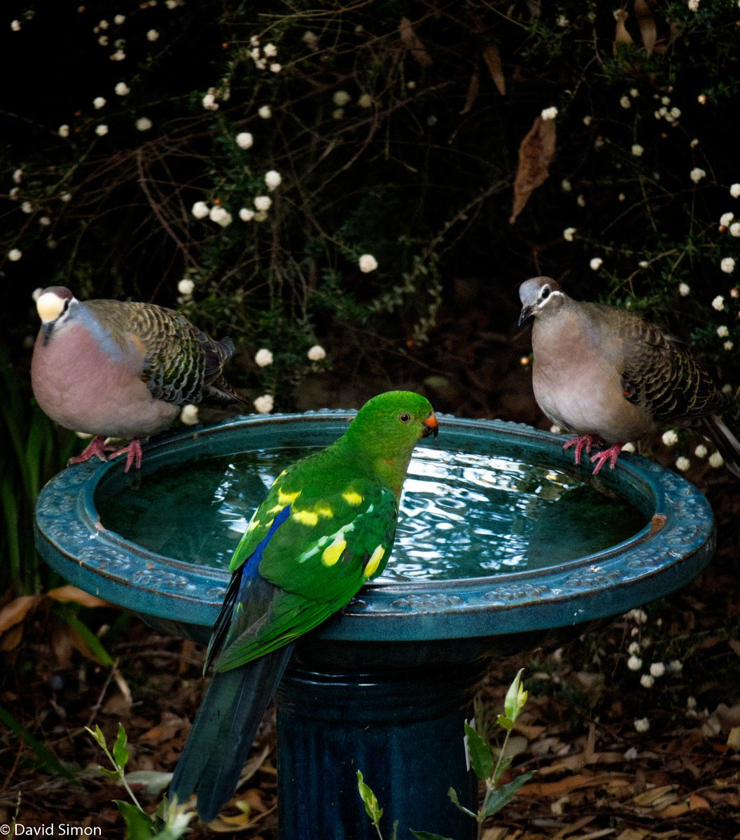 Partially leucistic Australian King Parrot sharing our bird bath with a pair of Common Bronzewings. #birds @ParrotOfTheDay @BirdlifeOz<br>http://pic.twitter.com/5MQV38IpA2