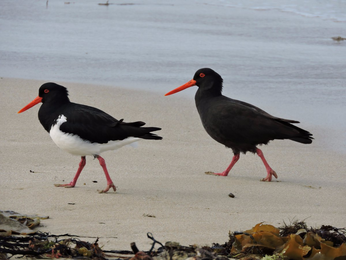 Pied &amp; Sooty Oystercatcher out for a morning stroll at Port Fairy today #birds #WildOz #SouthWestVictoria<br>http://pic.twitter.com/44Qk3ISICL