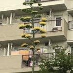 ひゃあ〜、竜舌蘭ではありませんかっ‼️うちの団地に咲いてました。50年位に一度しか花が咲かないそうで…