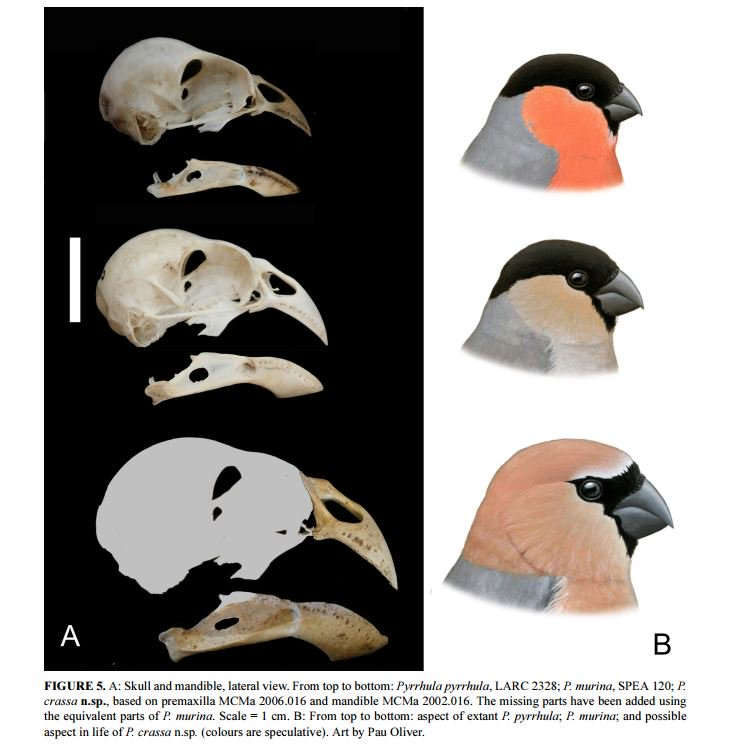 The recently described Greater Azores Bullfinch was probably driven #extinct by laurel forest clearance #ornithology  https://www. biotaxa.org/Zootaxa/articl e/view/zootaxa.4282.3.9 &nbsp; … <br>http://pic.twitter.com/gpMR1b9TsT