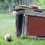 「キツネさんいるかな……」「いないかー……」 #北きつね牧場 #エゾタヌキ #キタキツネ pic.t…
