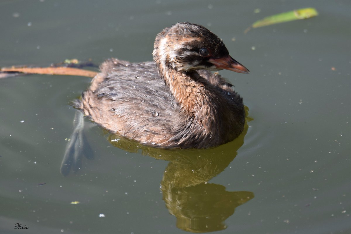 young Little Grebe #birds #wildlife <br>http://pic.twitter.com/W8FY6JWEJG