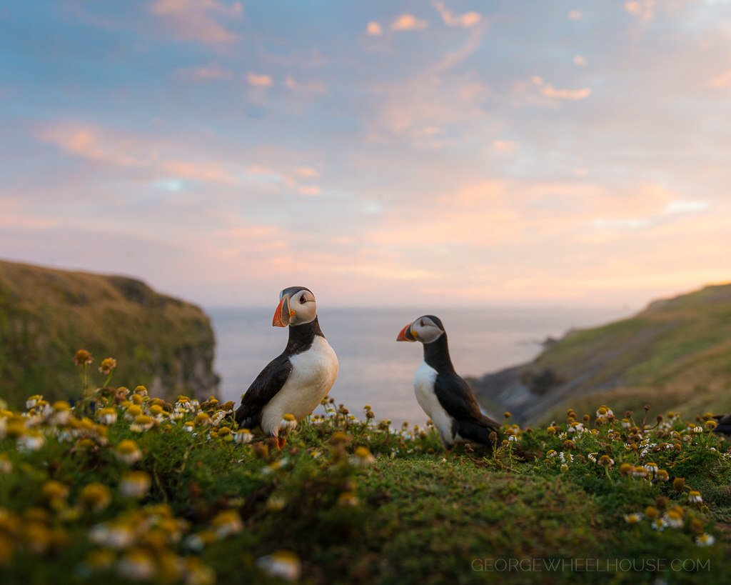 Puffins at Sunset   https:// flic.kr/p/WTQT8D  &nbsp;   #springwatch #wildlife <br>http://pic.twitter.com/n0p0MTOvsI