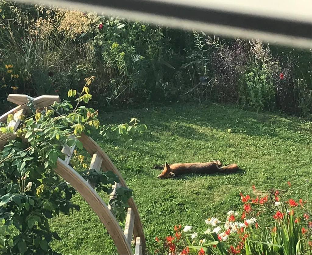 When to look out of the bathroom window to see a sunbathing fox #wildlife #urbanfox  http:// ift.tt/2eLDZ99  &nbsp;  <br>http://pic.twitter.com/043oYlxEb2